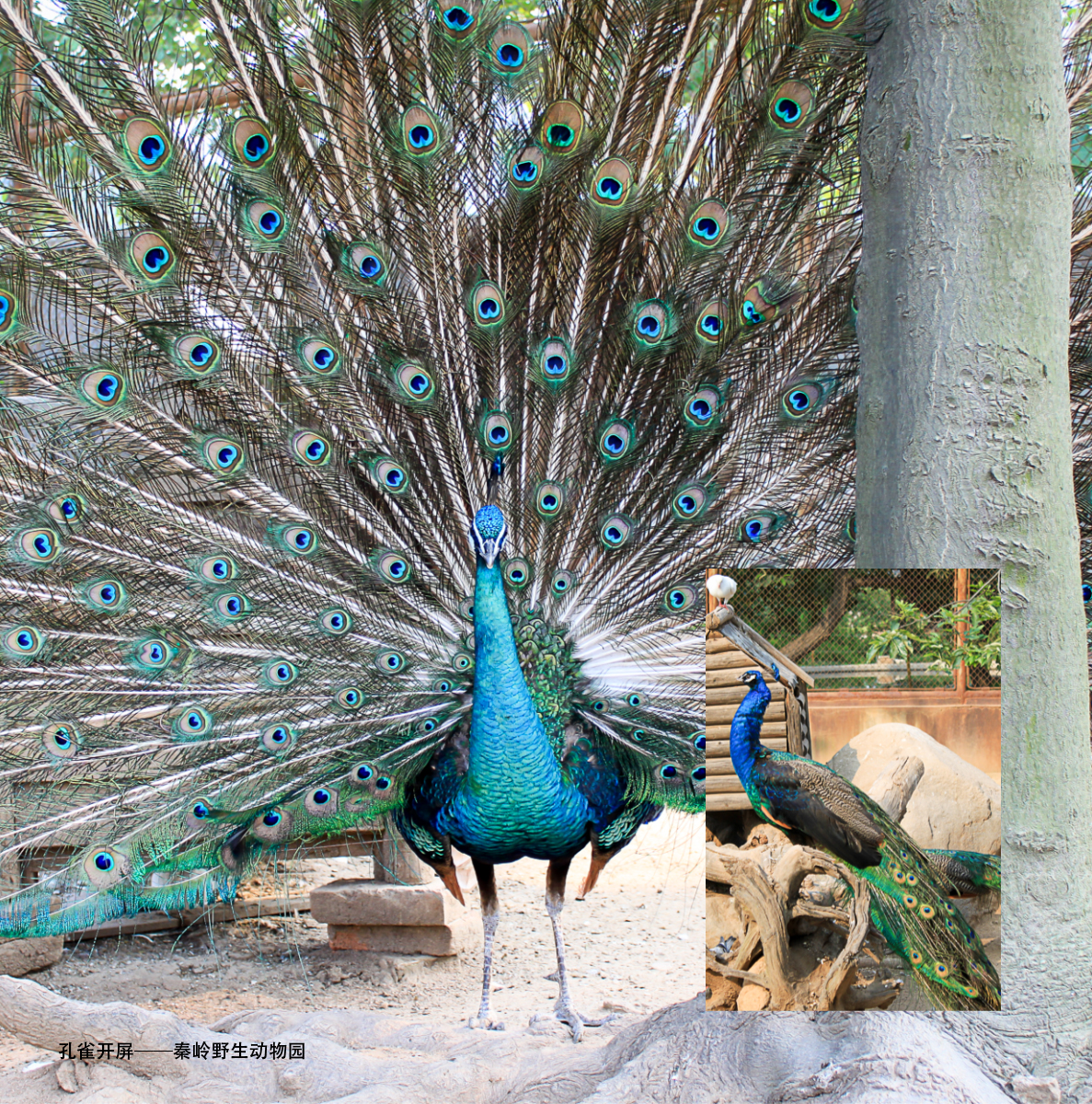 Peacock Flaunting